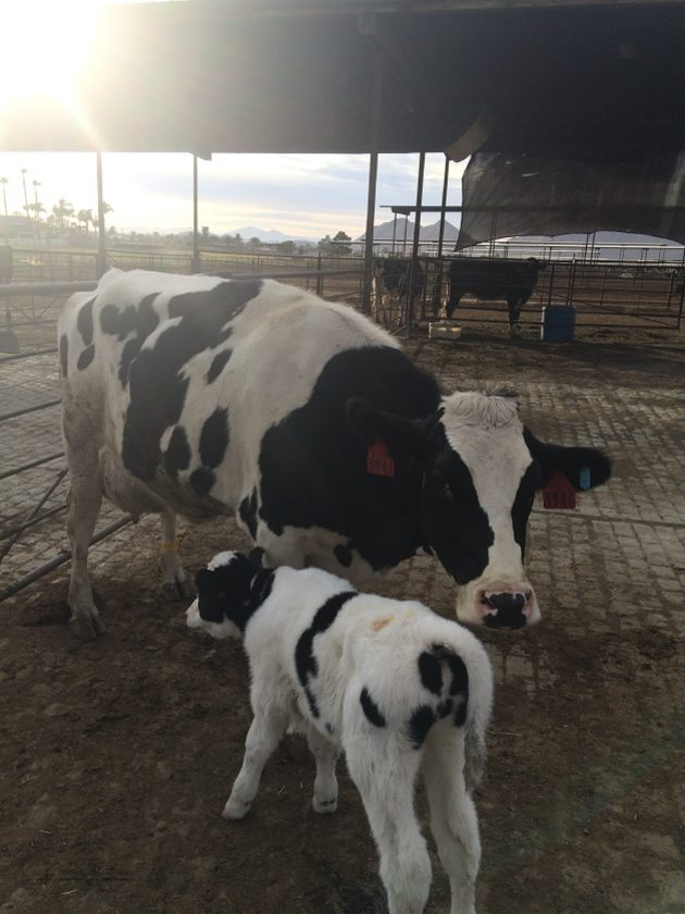 Mom and her baby CA Milk Advisory Board Farm Tour