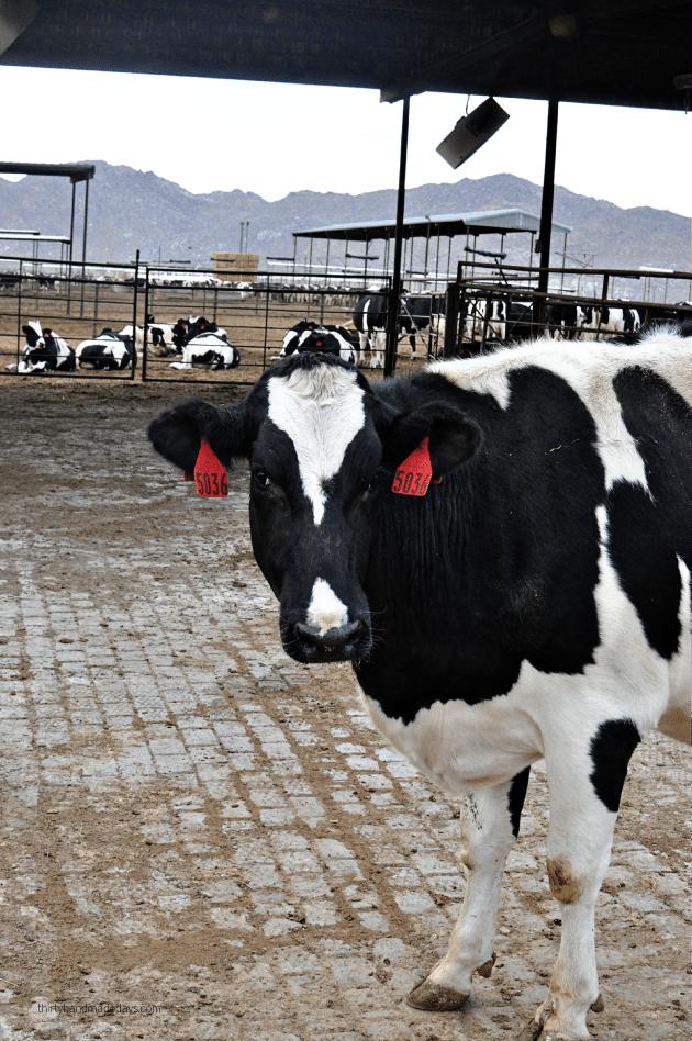 CA Milk Advisory Board Farm Tour - on the farm www.thirtyhandmadedays.com