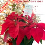 Poinsettia Christmas Gift Idea