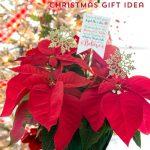 Poinsettia Christmas Gift Idea